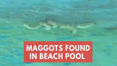 Video Shows Severe Maggot Infestation Causing Beaches To Close